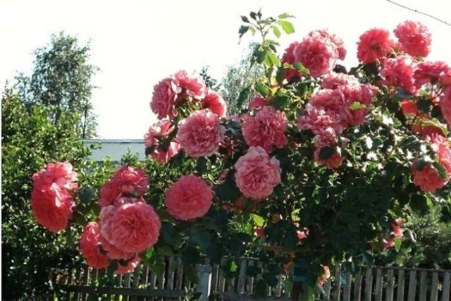 Штамбовая роза укрытие в белоруси