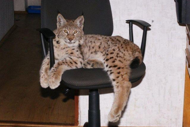 Все породы кошек домашних условиях