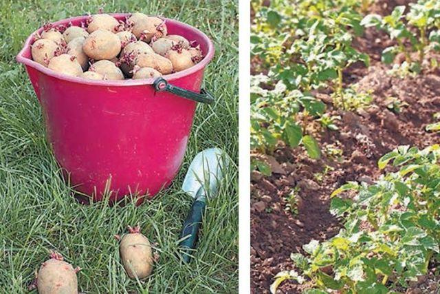 На какую глубину сажать картофель в приморье 94