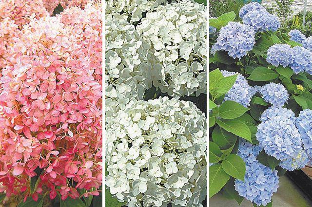 Гортензия метельчатая; гортензия древовидная; гортензия крупнолистная, или садовая.