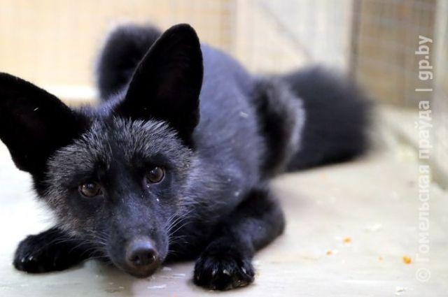 Вгомельском контактном зоопарке ребенка покусала лиса