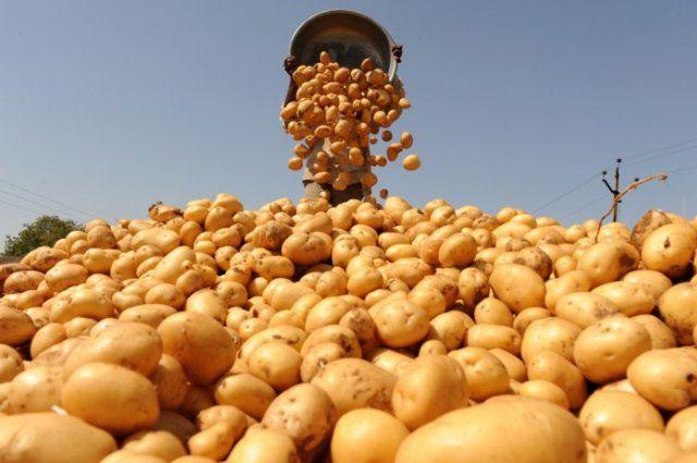Уборочная вЧервенском районе: наполе забыли 700 тонн картошки