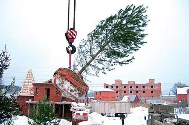 Посадка больших деревьев зимой – это отдельная и довольно сложная работа.