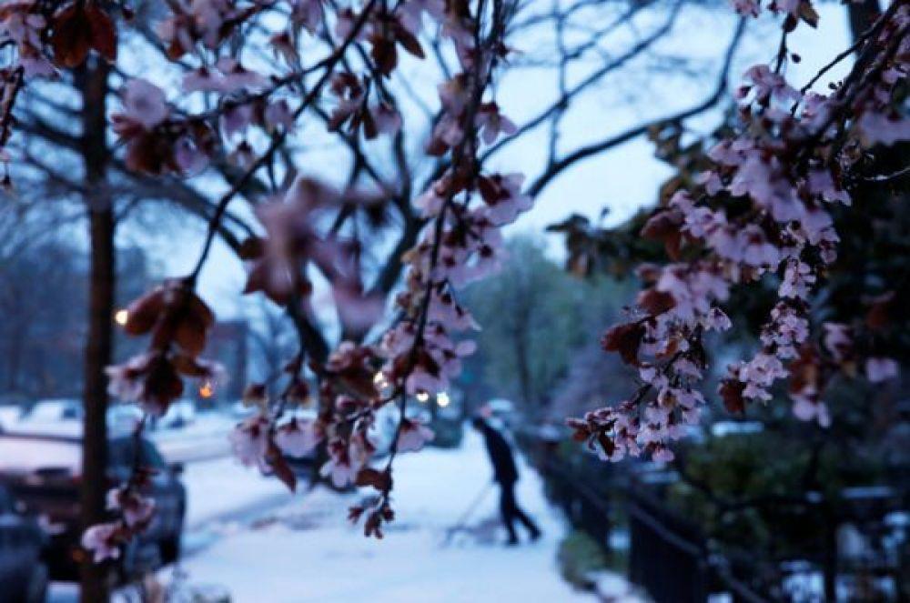 Снегом оказались покрыты уже цветущие деревья.