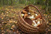 700 белых грибов за 3 часа набрали супруги Ермоленко из Гомельской области. Пара отправилась в лес и попала в грибные заросли.