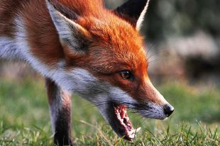 Эпидемия могла начаться из-за пойманной 6 сентября в Пинске бешеной лисы.
