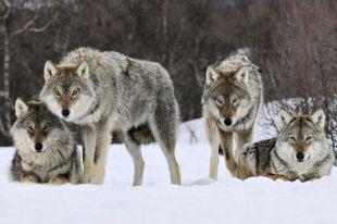 При выработке подходов к управлению популяцией волка нужно искать компромиссы.