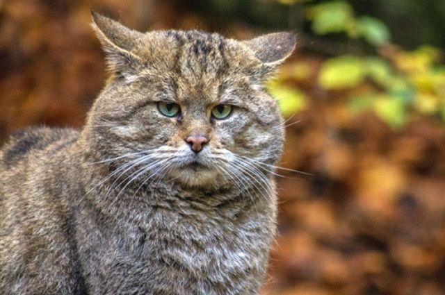 90 лет спустя… Встреча лесного кота вЧернобыльской зоне