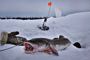 рыбалка на урале налим