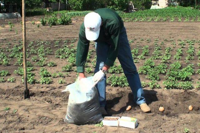 Лучше посадить на дачном участке картофеля меньше, да лучше ухаживать за ним!