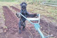 Пес, конечно, не помощник, но и не вредитель.