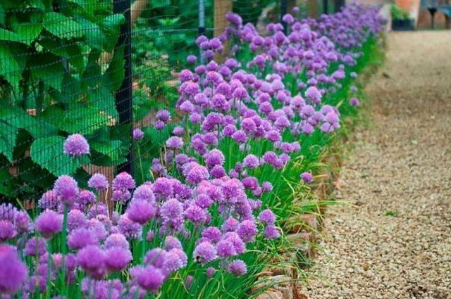 Многолетний шнитт-лук: весной дает витаминную зелень, летом симпатично цветет.