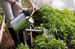 Поливать растения следует рано утром или поздно вечером.