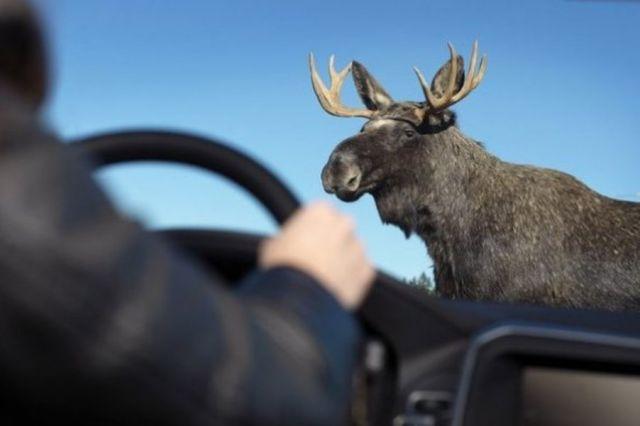 Ежегодно в нашей стране происходят десятки аварий, в которых погибают звери.
