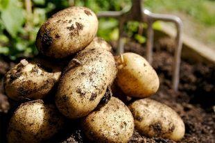 Будет ли в этом году хороший урожай картофеля?