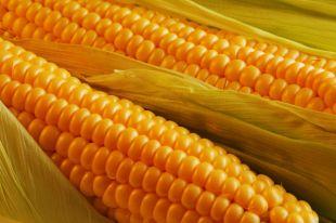 Отличить кормовую от сахарной могут специалисты.