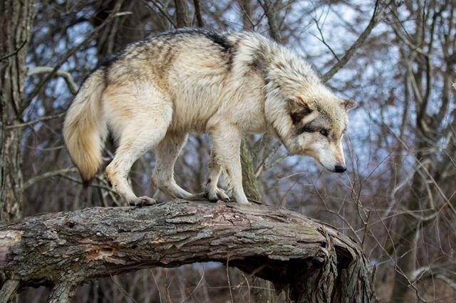 Волки - живые существа, которые имеют право на существование в своей среде обитания.