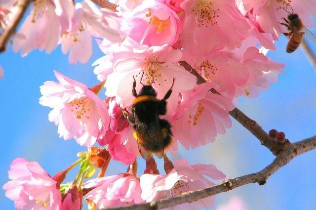 Если пчелы садятся на вишневый цвет, то вишни будет много.
