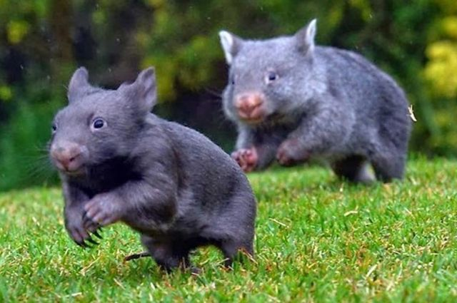 Австралия - единственный материк, на котором можно встретить вомбатов.