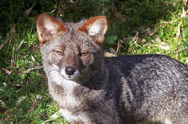 Дарвиновская лисица.