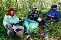 За черничный сезон можно заработать 2-3 тыс. руб.