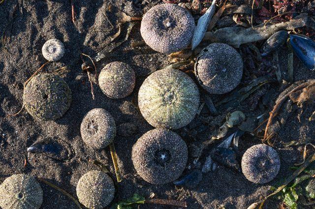 Выброшенные на берег Авачинской губы на Камчатке морские ежи.