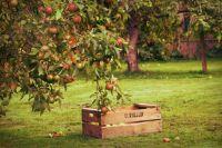 О лежкости плодов приходится думать еще весной, при обрезке, и летом - при внесении удобрений и поливах.