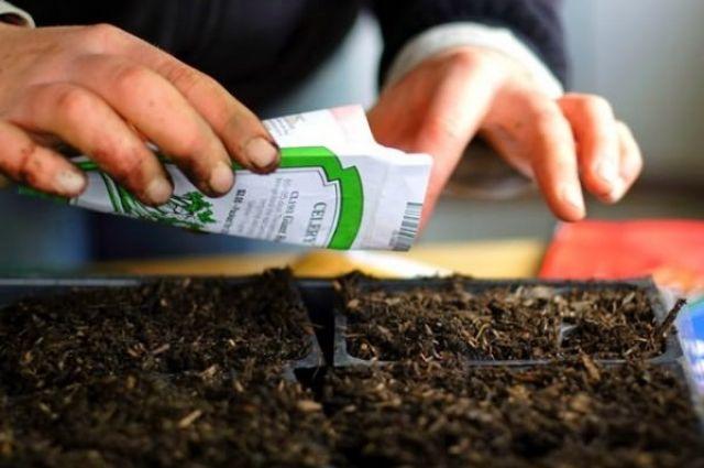 как проверить семена кинзы на всхожесть