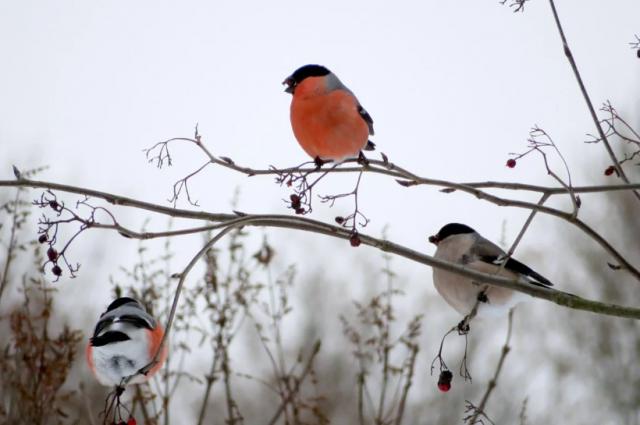 Красная грудка среди снегирей - только у самцов.
