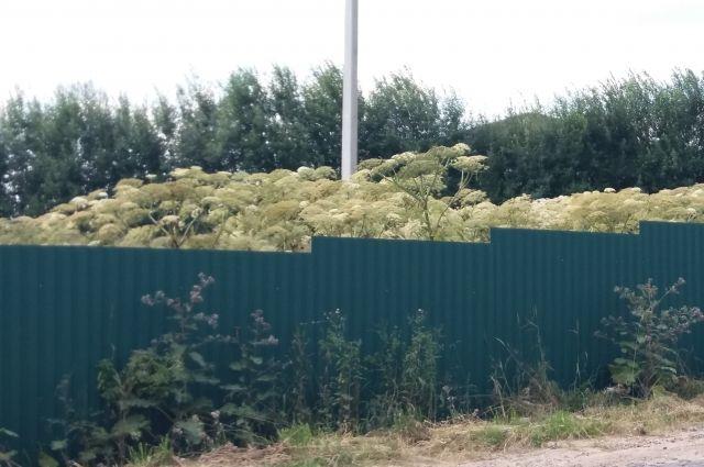 На некоторых участках борщевик, видимо, возделывают как декоративное растение.